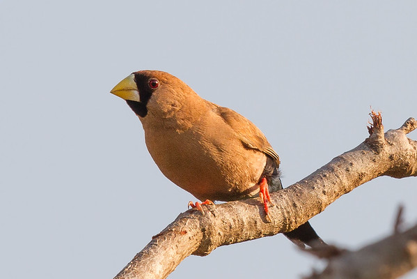 Masked Finch (Poephila personata) - Holmes Jungle Nature Park (Darwin), Northern Territory