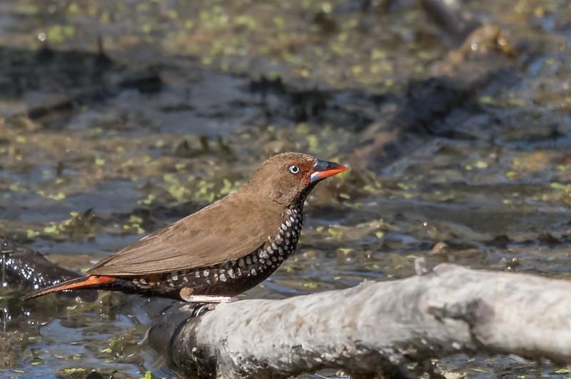 Painted Finch (Emblema pictum) - Clem Walton Reserve (Cloncurry), Queensland
