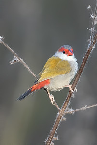Red-browed Finch (Neochmia minor) - Laura, Queensland