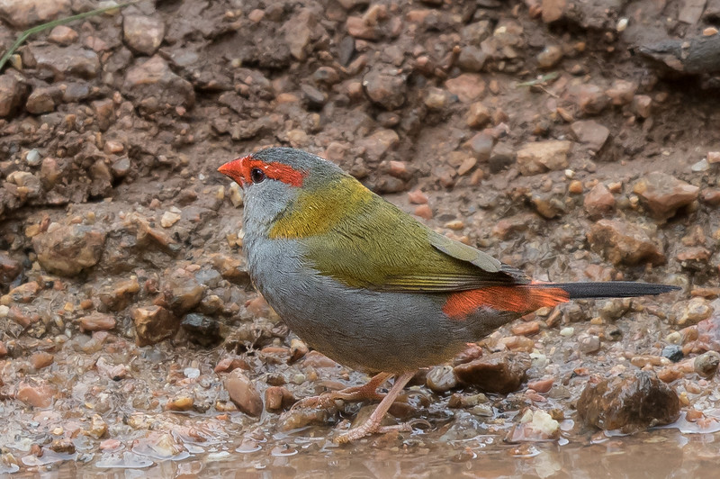 Red-browed Finch (Neochmia temporalis) - Wongabel State Forest (Malanda), Queensland