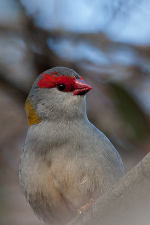 Red-browed Finch (Neochmia temporalis) - Serendip, Victoria