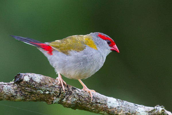 Red-browed Finch (Neochmia temporalis) - Tyto Wetlands (Ingham), Queensland