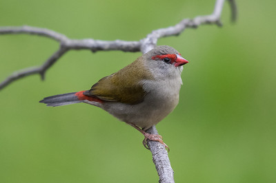 Red-browed Finch (Neochmia temporalis) - Clarkesdale, Victoria