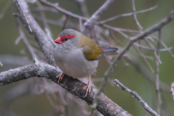Red-browed Finch (Neochmia temporalis) - Clarkesdale, Victoria