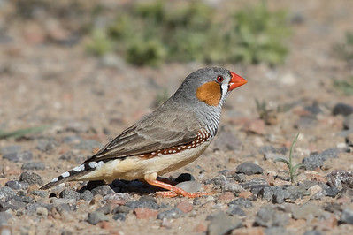 Zebra Finch (Taeniopygia guttata) - Gravel Pit Billabong (Nelia), Queensland