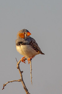 Zebra Finch (Taeniopygia guttata) - Lake Cargelligo, New South Wales
