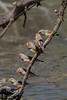 Zebra Finch (Poephila guttata) - Clem Walton Reserve (Cloncurry), Queensland