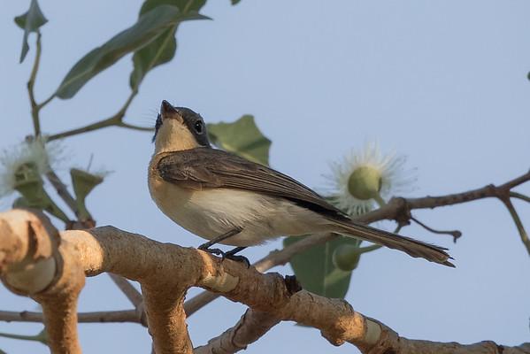 Broad-billed Flycatcher (Myiagra ruficollis) - Edith Falls, Northern Territory
