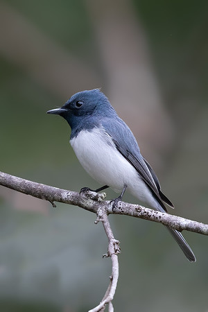Leaden Flycatcher (Myiagra rubecula) - Tyto Wetlands (Ingham), Queensland