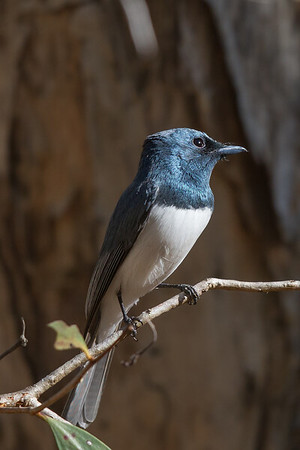 Leaden Flycatcher (Myiagra rubecula) - Mardugal, Northern Territory