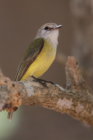 Lemon-bellied Flycatcher (Microeca flavigaster) - Fogg Dam, Northern Territory
