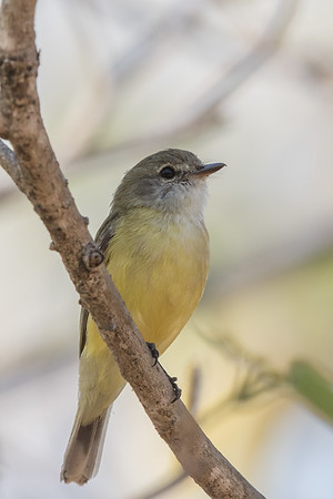 Lemon-bellied Flycatcher (Microeca flavigaster) - East Point (Darwin), Northern Territory