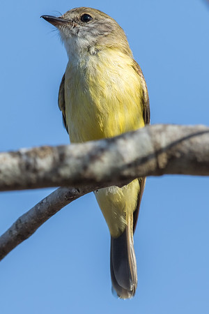 Lemon-bellied Flycatcher (Microeca flavigaster) - East Point (Darwin), Northern Territory