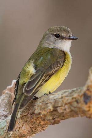 Lemon-bellied Flycatcher (Microeca flavigaster) - Fogg Dam, Northern Territory
