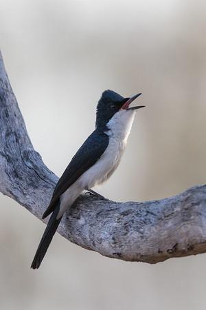 Restless Flycatcher (Myiagra inquieta) - Edith Falls, Northern Territory