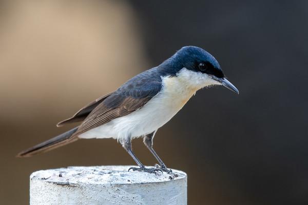 Restless Flycatcher (Myiagra inquieta) - Bowenville, Queensland