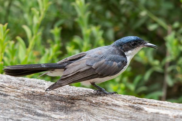 Restless Flycatcher (Myiagra inquieta) - Pemberton, Western Australia