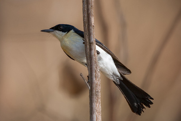 Restless Flycatcher (Myiagra inquieta) - Mary River, Northern Territory