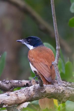 Shining Flycatcher (Myiagra alecto) - Botanic Gardens (Cairns), Queensland