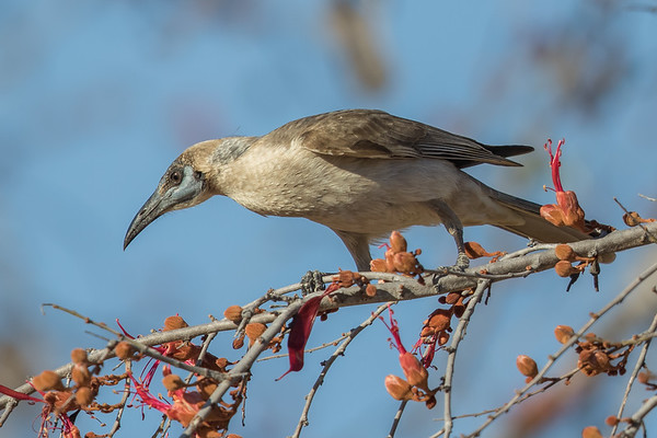 Little Friarbird (Philemon citreogularis) - Black Bull Siding (Georgetown), Queensland