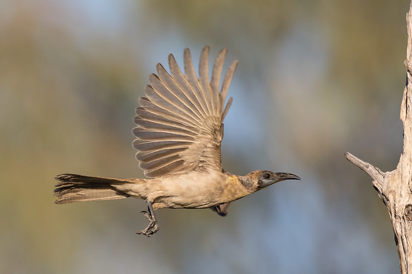 Little Friarbird (Philemon citreogularis) - Clem Walton Reserve (Cloncurry), Queensland