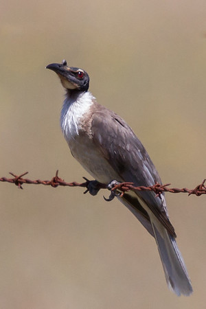 Noisy Friarbird (Philemon corniculatus) - Capertee Valley, New South Wales