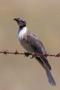 Noisy Friarbird (Philemon corniculatus) - Capertee Valley, New South Wales