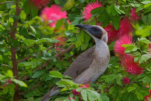 Silver-crowned Friarbird (Philemon argenticeps) - Darwin Botanic Gardens, Northern Territory
