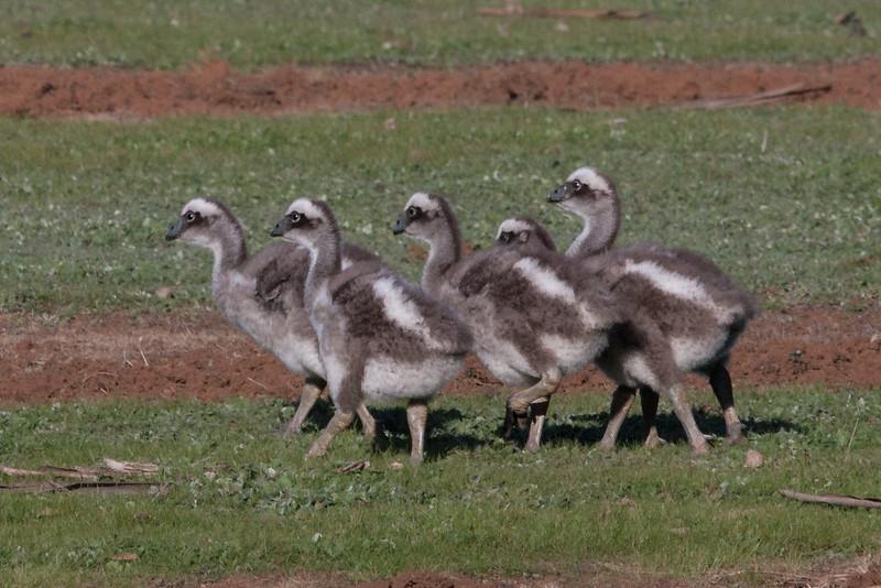 Cape Barren Goose (Cereopsis novaehollandiae) - Serendip, Victoria