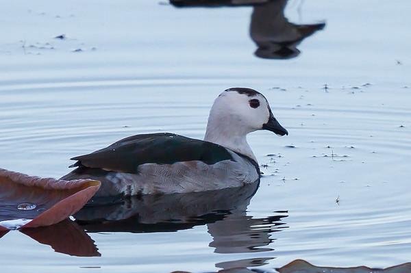 Cotton Pygmy-goose (Nettapus coromandelianus) - Tyto Wetlands (Ingham), Queensland