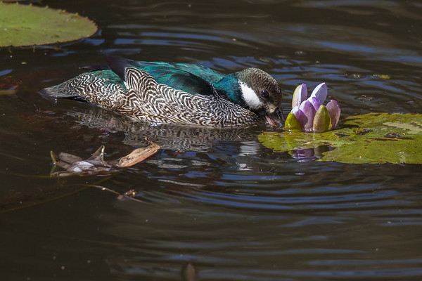 Green Pygmy-goose (Nettapus pulchellus) - Caranbarini Conservation Reserve, Northern Territory