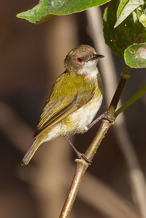 Green-backed Gerygone (Gerygone chloronota) - Buffalo Creek (Darwin), Northern Territory