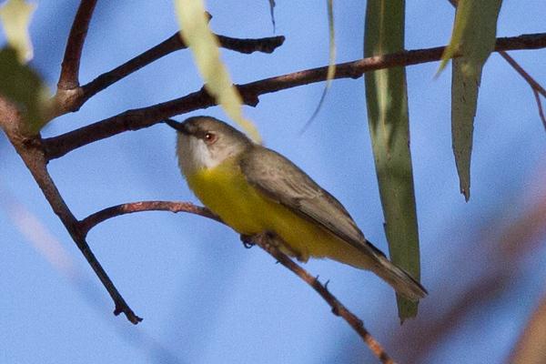 White-throated Gerygone (Gerygone olivacea) - Croydon, Queensland
