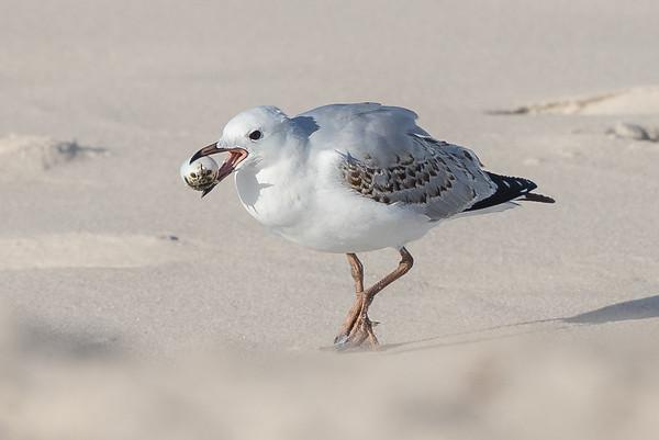 Silver Gull (Chroicocephalus novaehollandiae) - Bay of Fires, Tasmania