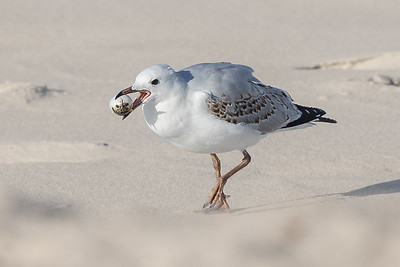 Silver Gull (Larus novaehollandiae) - Bay of Fires, Tasmania