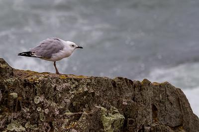 Silver Gull (Chroicocephalus novaehollandiae) - Devonport, Tasmania