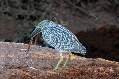 Nankeen Night Heron (Nycticorax caledonicus) - Clem Walton Reserve,  Queensland