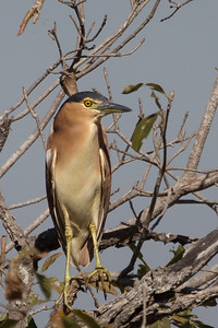 Nankeen Night Heron (Nycticorax caledonicus) - Corroboree Billabong, Northern Territory