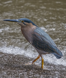 Striated Heron (Butorides striata) -  Botanic Gardens (Cairns), Queensland