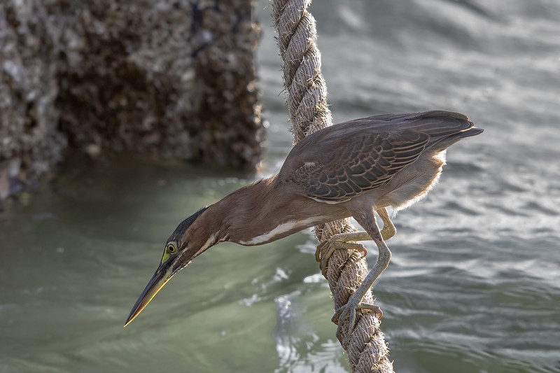 Striated Heron (Butorides striata) - Weipa (Cape York), Queensland