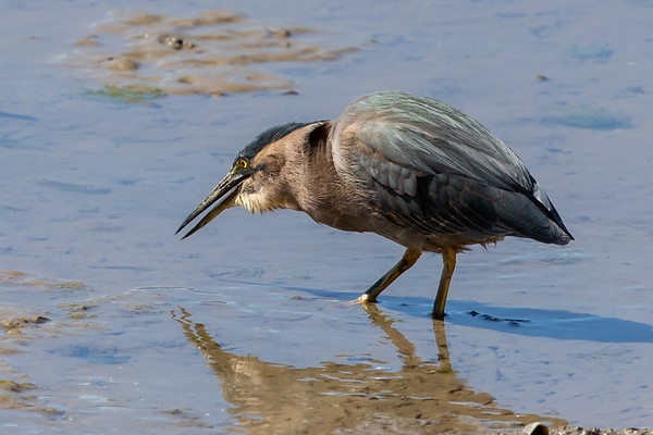 Striated Heron (Butorides striata) - Cairns, Queensland