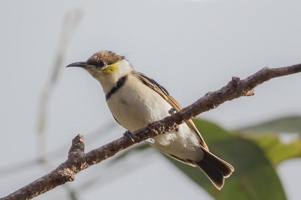 Banded Honeyeater (Cissomela pectoralis) - Laura, Queensland