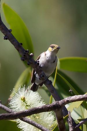 Banded Honeyeater (Cissomela pectoralis) - Caranbarini Conservation Reserve, Northern Territory
