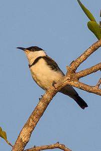 Banded Honeyeater (Cissomela pectoralis) - Edith Falls, Northern Territory