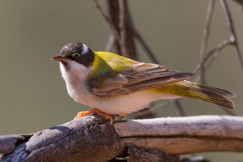 Black-chinned Honeyeater (Melithreptus gularis) - Trephina Gorge Nature Park, Northern Territory