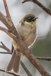Black-headed Honeyeater (Melithreptus affinis) - Derwent Bridge (Lake St Clair), Tasmania