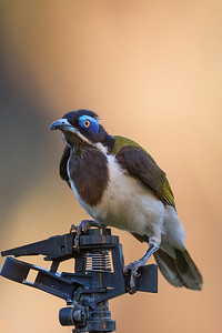 Blue-faced Honeyeater (Entomyzon cyanotis) - Pine Creek, Northern Territory