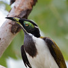 Blue-faced Honeyeater (Entomyzon cyanotis) - Bridge Creek, Northern Territory