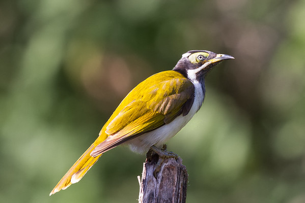 Blue-faced Honeyeater (Entomyzon cyanotis), Botanic Gardens (Rockhampton), Queensland