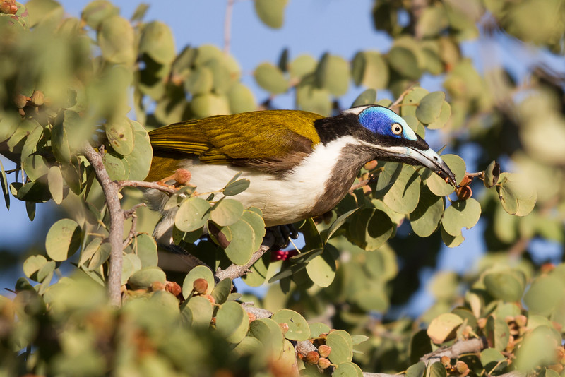 Blue-faced Honeyeater (Entomyzon cyanotis) - Cumberland Dam (Georgetown), Queensland